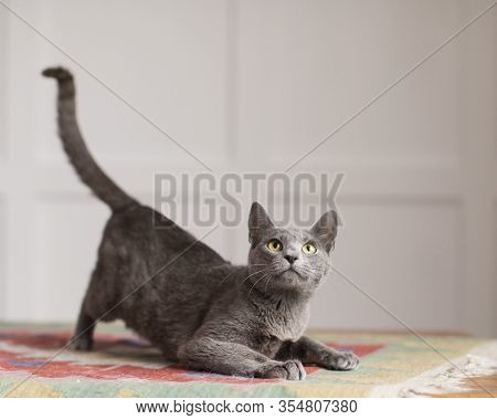 Friendly Fluffy Blue Gray Short Haired Cat Crouches On Multi Colored Rug In Natural Light With His T