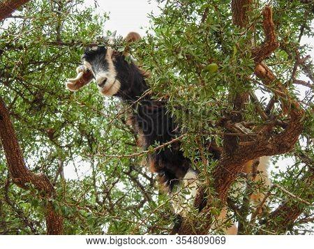 The Cloven-hoofed Goats In Morocco Climbing The Argania Spinosa, Or  Argan Tree