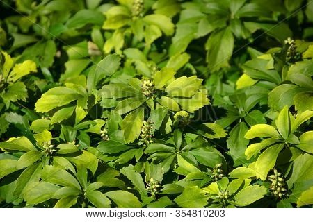 Evergreen Carpet Box Plant With Tiny Flowers In Spring, Pachysandra Terminalis Or Japanese Spurge Pl