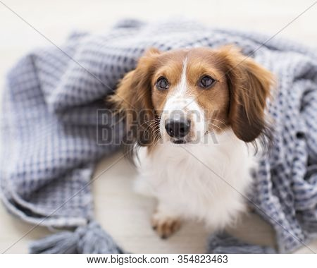 Adorable Smiling Brown And White Long Haired  Weiner Dog Looks At The Camera And Cuddles In A Blue B