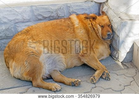 The Fat Red Dog Sleeping On The Street