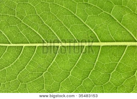 Leaf veins close up, high resolution, natural as it is poster
