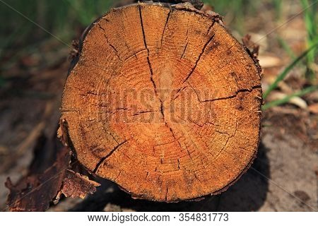 Felled Tree Trunk (pine) сlose-up. The Felled Tree And Felling Process. The Structure Of The Freshly