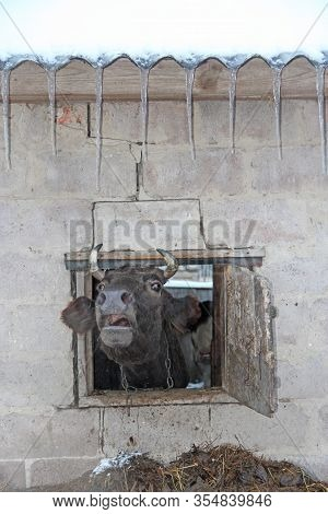 Cow Looking Out And Screaming Out Of Cattle-shed Window. Cow Screaming From Farm Window. Cow Looking