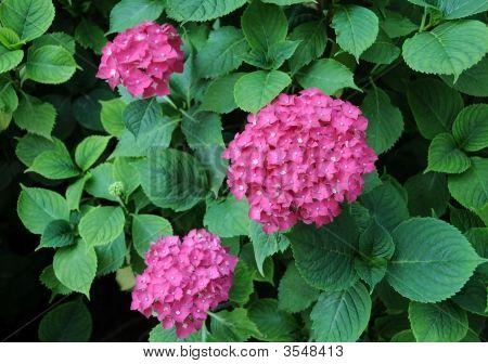 Flowers Of Hydrangea