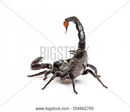 Drop of venom on the tail of a Emperor scorpion, Pandinus imperator, isolated