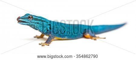 Electric blue gecko licking its lips, Lygodactylus williamsi, isolated
