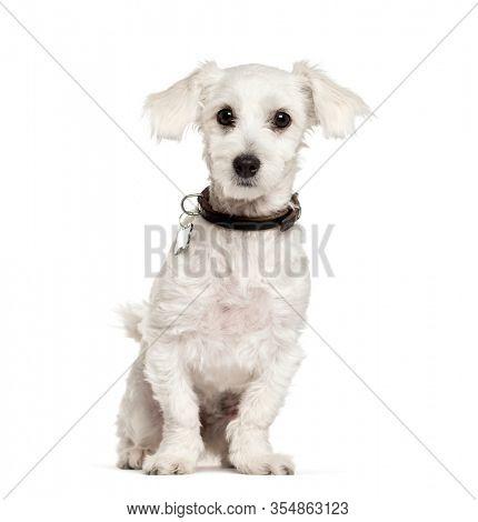 Sitting Maltese dog, isolated on white
