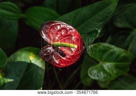 Pink Anthurium Flower Anthurium Andreanum