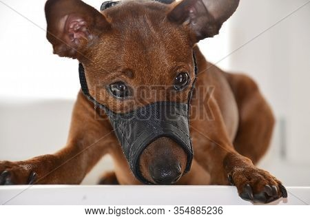 A Sad Dog With A Muzzle Is Lying On A White Background. The Pet Was Muzzled. Close-up View. Portrait