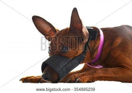 A Small Dog In A Muzzle Is Lying And Sad On A White Background.