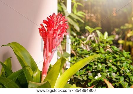 Aechmea Fasciata, Urn Plant, Bromeliaceae, Guzmania. Bromeliad Or Vriesea Flower In Garden. Close Up