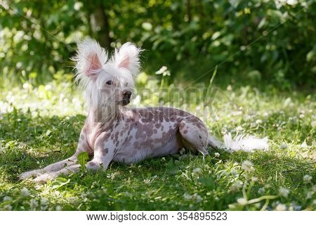 Chinese Crested Dog On Green Grass, Summer Spring Season Pet Relax Outddoor, Copy Space
