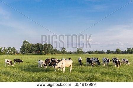 Black And White Holstein Cows In A Grass Field Near Groningen, Netherlands