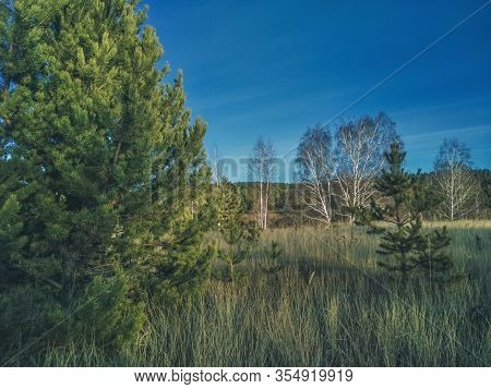 Big Fluffy Spruce On The Background Of Bare Birches And Coniferous Forest. Autumn Coniferous Forest.