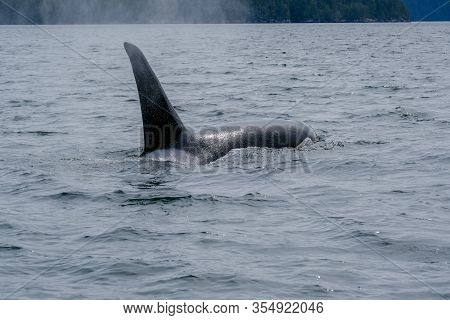 Close-up Of Killer Whale In Tofino , View From Boat On A Killer Whale