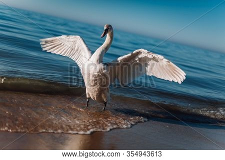 A Beautiful White Swan Spreads Its Wings. Swan Getting Ready To Take Off. White Swan On The Sea.