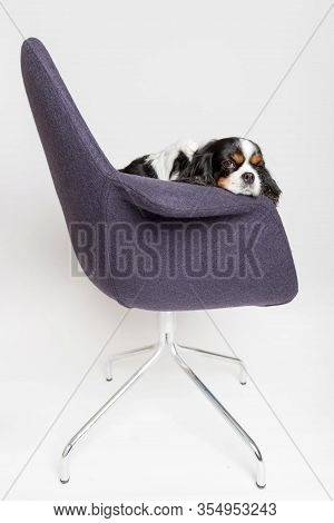 Tired Dog Sitting On The Swivel Chair On White Background