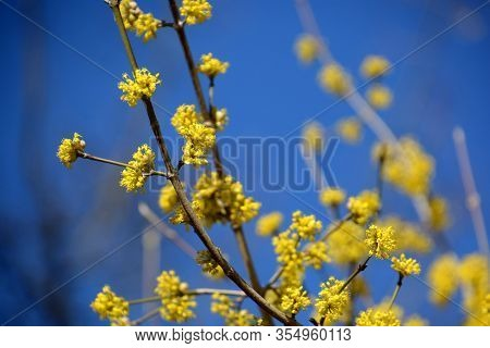Cornelian Cherry Branch With Small Yellow Flowers In Front Of Blue Azure Sky, Early Spring Flowers O