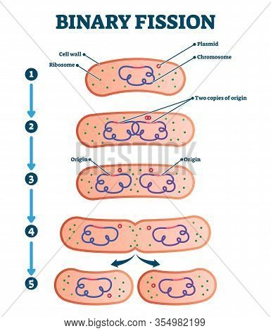 Binary Fission Process, Vector Illustration Diagram. Labeled Cell Reproduction Division Stages Schem