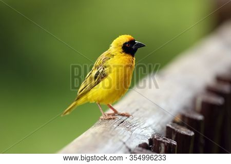 The Village Weaver (ploceus Cucullatus), Or Spotted-backed Weaver Or Black-headed Weaver Is Sitting