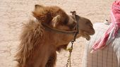 a close up of a Middle East camel traveling in the desert of Jordan poster