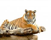 this is bengal tiger isolated on white background poster
