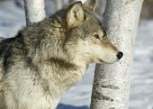 Gray wolf profile shot with long telephoto lens poster