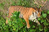 this is bengal tiger resting in the forest poster