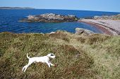White dog sleeping on cliff with stony beach and sea poster