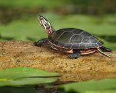 Midland Painted Turtle (Chrysemys picta marginata) Basking on a Log Surrounded by Lily Pads - Pinery Provincial Park, Ontario, Canada poster