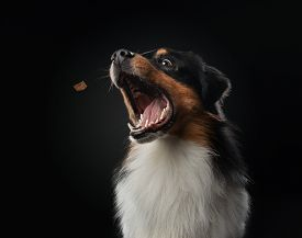 Dog With Open Mouth. Australian Shepherd Catches A Piece Of Food, Feed. Funny Pet