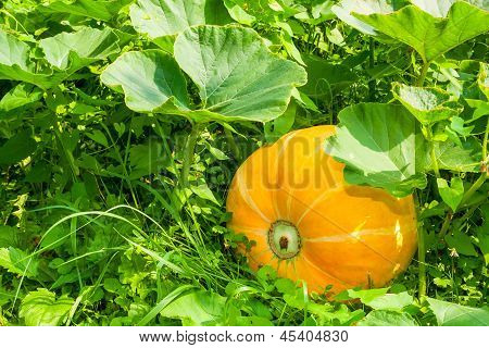 Yellow Pumpkin In The Green Grass