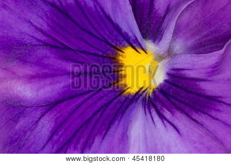 Extreme Closeup Of Beautiful Purple Pansy