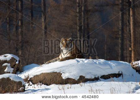 Siberian Tiger On Snow Rock