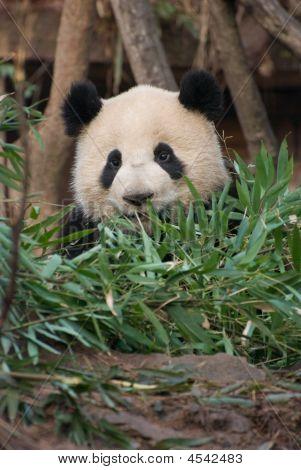 Chinese Panda In Bamboo