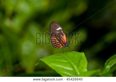 A beautiful postman butterfly perching on a blade of leaf