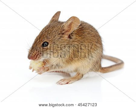 House Mouse Eating Cheese (mus Musculus)