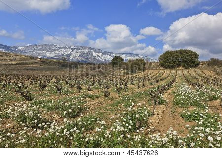 Fields Of Vineyards