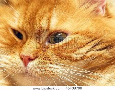 The photo of ginger cat muzzle taken closeup. poster