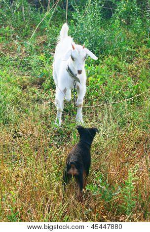 Weiße Ziege und ein Welpe