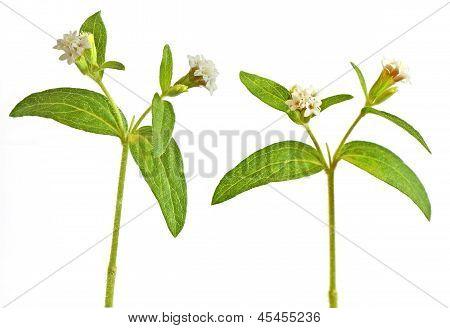 Blossomed Rebaudiana