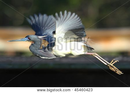 Tricolored Heron (Egretta tricolor) flying in the Florida Everglades poster