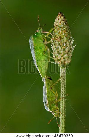 Heteroptera Pentatomidae And Reproduction