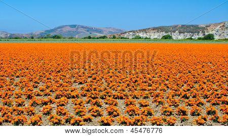 Marigold Farm in California