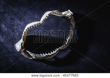 Shark Jaw With Teeth