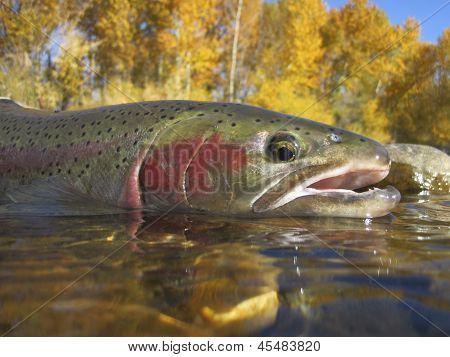 Boise River steelhead trout