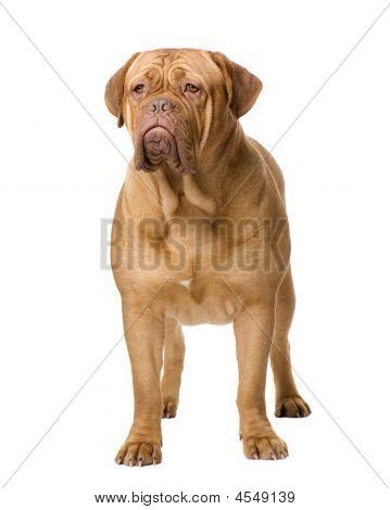 Dogue De Bordeaux (2 Years)