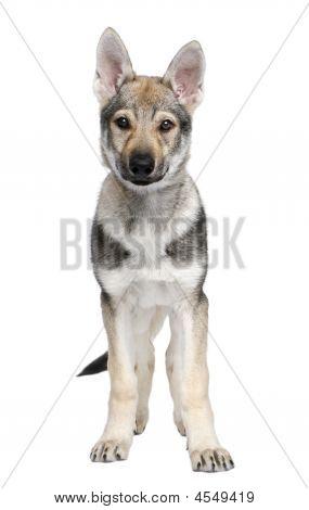 Czechoslovakian Puppy (3 Months)