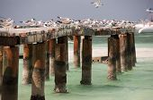Seagulls sitting on ruins of port Cayo Blanco, Cuba poster